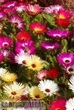 A few pix from my garden Th_Garden_Dorotheanthus_colour_1008b