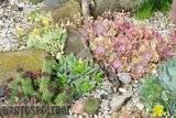A few pix from my garden Th_Garden_DouglasHuth_brevifolia_mammi
