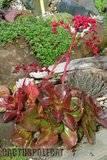 A few pix from my garden Th_Garden_Echeveria_1009