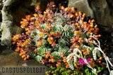 A few pix from my garden Th_Garden_Echeveria_derenbergii_1009