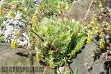 A few pix from my garden Th_Garden_Echeveria_pulidonis_1209