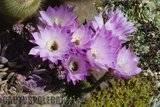 A few pix from my garden Th_Garden_Echinopsismultiplex_1209a