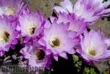 A few pix from my garden Th_Garden_Echinopsismultiplex_1209b