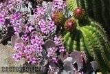 A few pix from my garden Th_Garden_Kalanchoe_pumila_1209