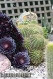 A few pix from my garden Th_Garden_Lobivia_grandis_009