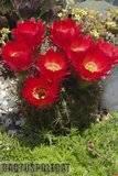 A few pix from my garden Th_Garden_Lobivia_sp_1209