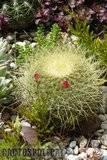 A few pix from my garden Th_Garden_Mammillaria_pringlei_1209