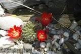 A few pix from my garden Th_Garden_Rebutia_einsteinii_1209