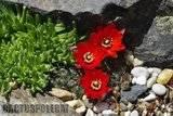 A few pix from my garden Th_Garden_Rebutia_sp_1209