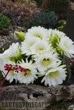 A few pix from my garden Th_Garden_Tricho_schickendantzii_1109a
