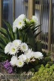 A few pix from my garden Th_Garden_Tricho_schickendantzii_1109b