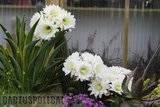 A few pix from my garden Th_Garden_Tricho_schickendantzii_1109c