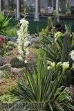 A few pix from my garden Th_Garden_Yucca_GoldenEdge_1209a
