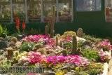 A few pix from my garden Th_Garden_dorotheanthus_colour_1008a