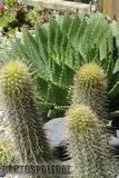 A few pix from my garden Th_Garden_polyphilla_camarguensis_1209