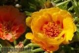 A few pix from my garden Th_Portulaca_0209