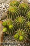If you like schicks... Th_Trichocereus_schickendantzii_1108a