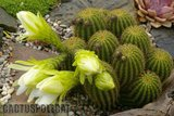 If you like schicks... Th_Trichocereus_schickendantzii_1108e