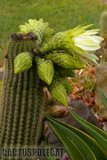 If you like schicks... Th_Trichocereus_schickendantzii_1108f