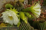 If you like schicks... Th_Trichocereus_schickendantzii_1108h