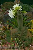 If you like schicks... Th_Trichocereus_schickendantzii_1108i