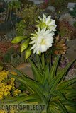 If you like schicks... Th_Trichocereus_schickendantzii_1108j