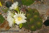 If you like schicks... Th_Trichocereus_schickendantzii_1108k