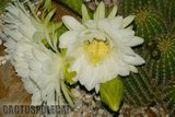 If you like schicks... Th_Trichocereus_schickendantzii_1108l
