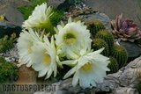 If you like schicks... Th_Trichocereus_schickendantzii_1108n