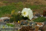 If you like schicks... Th_Trichocereus_schickendantzii_1108o