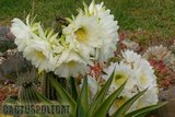 If you like schicks... Th_Trichocereus_schickendantzii_1108p
