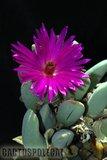 """""""Hilda Park"""" in bloom... Th_Cheiridopsis_purpurea_HildaPark_CP_"""