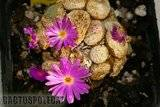 Cono resurrection! Th_Conophytum_sp_1288SCN_0409d