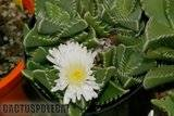 Shark's jaws and lithops... Th_Faucaria_Xcandida_0409b