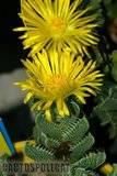 Schwantesia and friends Th_Faucaria_tigrina_0409a