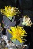 """Hilda Park"" in bloom... Th_Pleiospilossimulans_0210a"