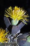 """""""Hilda Park"""" in bloom... Th_Pleiospilossimulans_0210c"""