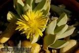 Schwantesia and friends Th_Schwantesia_acutipetala_0409b