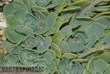 Some garden colour. Th_Echeveria_glauca_1208_a