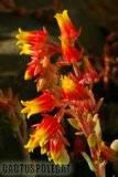 Some garden colour. Th_Echeveria_glauca_1208_b