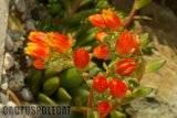Some garden colour. Th_Echeveria_noid_1208_b