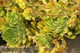Some garden colour. Th_Echeveria_noid_2_1208_a