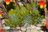 Some garden colour. Th_Echeveria_rundelli_1208_a