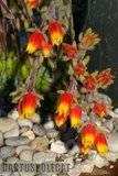 Some garden colour. Th_Echeveria_rundelli_1208_b