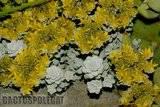 Some garden colour. Th_Sedum_spathulifolium_1208