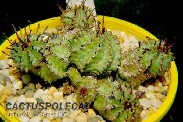 More Unidentified eBay Finds Euphorbia_cv_green_elf_1106