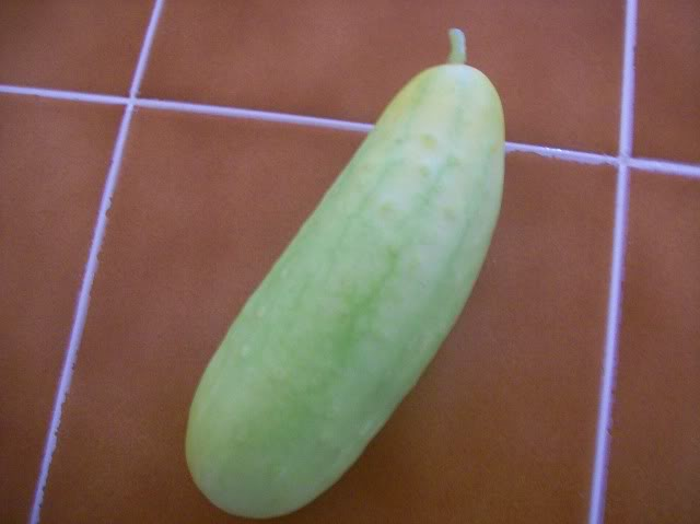 Poona Kheera Cucumber is Very Prolific! 100_3980