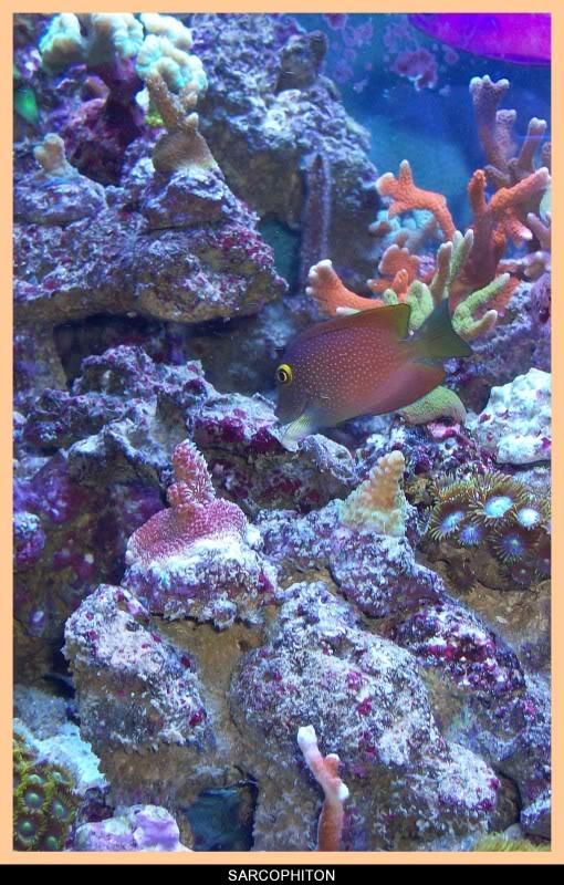 evolucion c.estrigosus Imagen3003-1