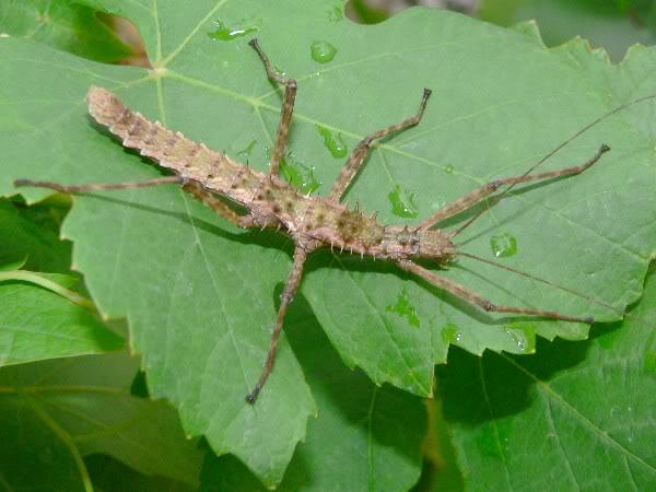 Spinohirasea bengalensis  (psg 272) P1170535