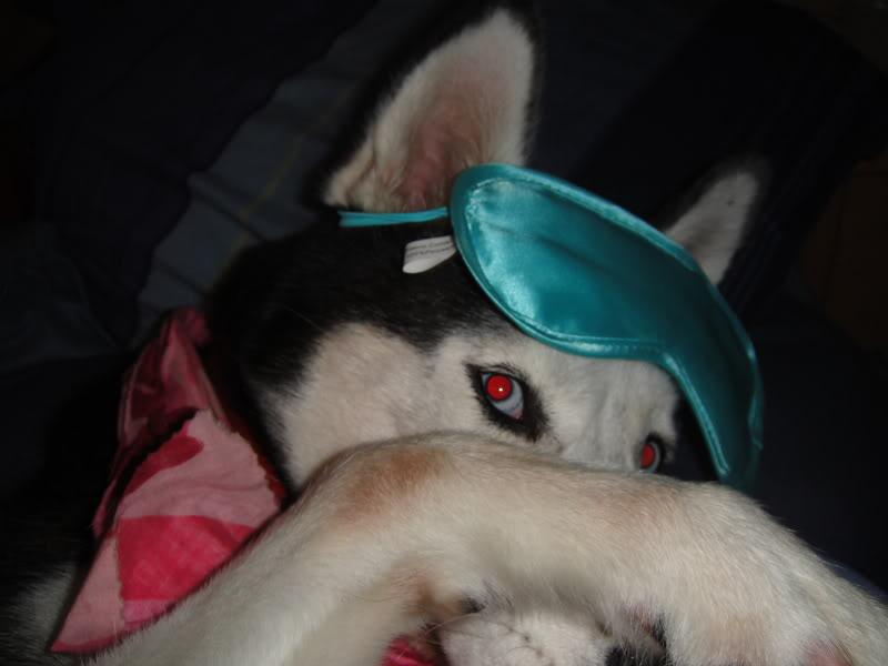 Comedic Husky Picture Thread DSC00050